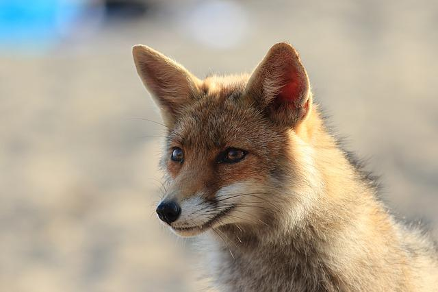 Fox, Animal, Tuscany