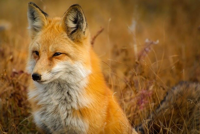 Fox, Animal, Wildlife, Red, Macro, Closeup, Landscape