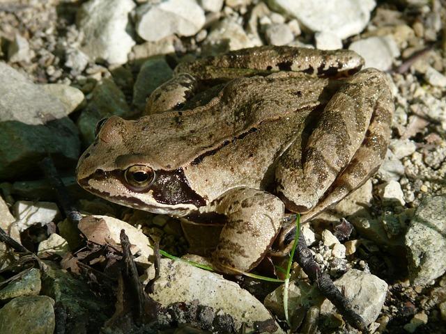 Common Frog, Frog, Amphibian, Rana Temporaria, Animal