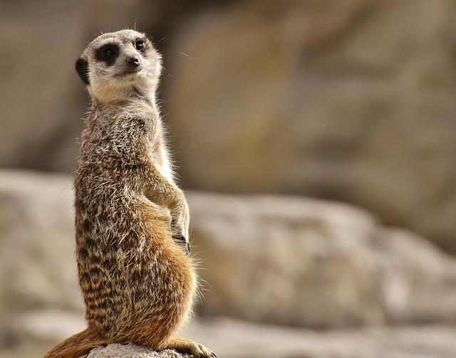 Meerkat, Animal, Nature, Zoo, Tiergarten, Small, Fur