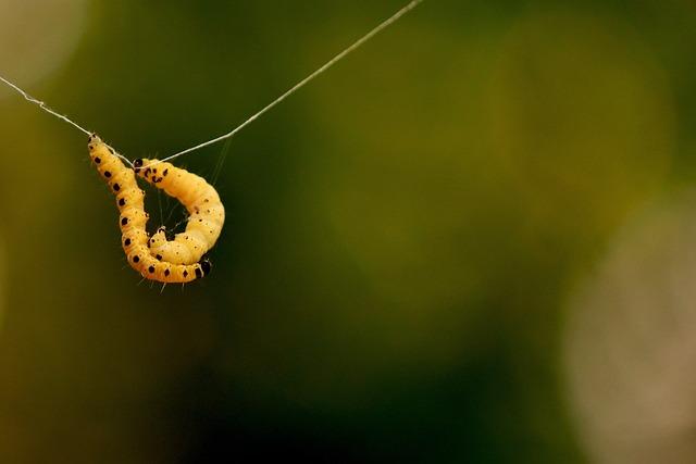 Larva, Wax Moth, Galleriinae, Caterpillar, Animal