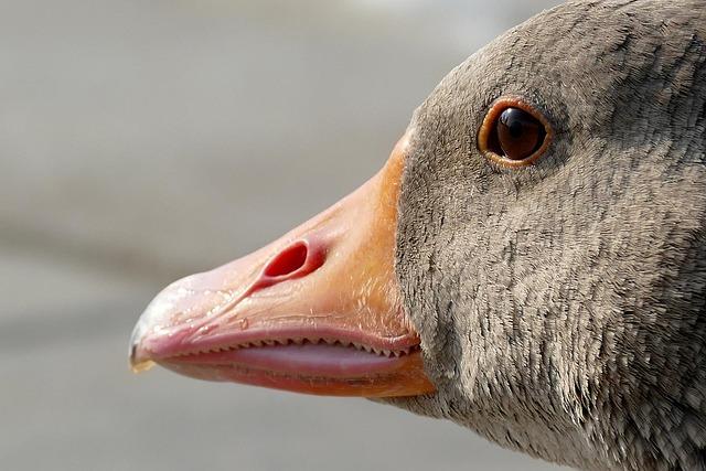 Goose, Geese Head, Animal, Nature