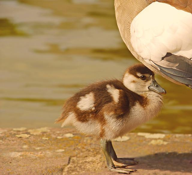 Chicks, Goslings, Goose, Nilgans, Geese Young, Animal