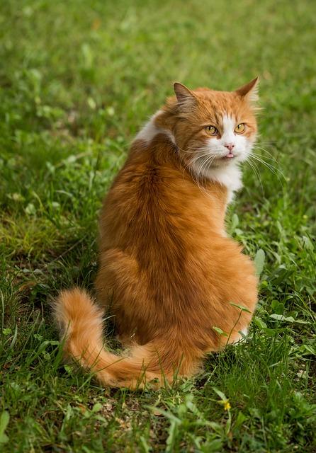 Cat, Feline, Animal, Nature, Portrait, Ginger Cat