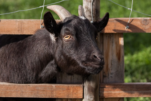 Domestic Goat, Capra Aegagrus Hircus, Goat, Animal