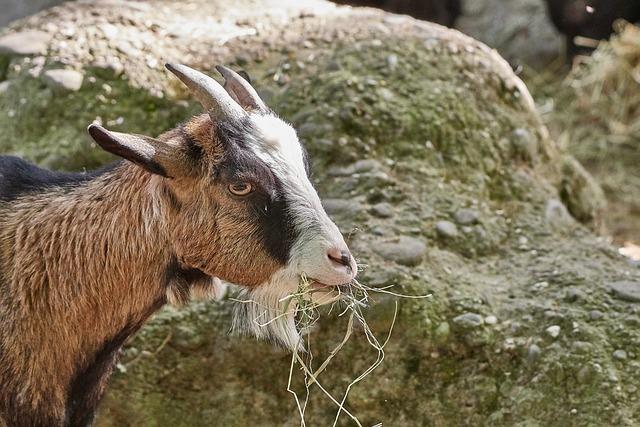 Goat, Eat, Nature, Animal, Mammal