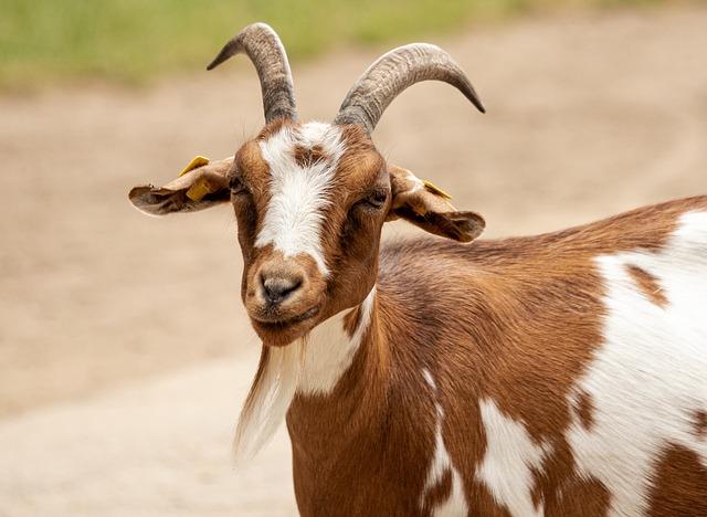 Goat, Animal, Mammal, Domestic Goat