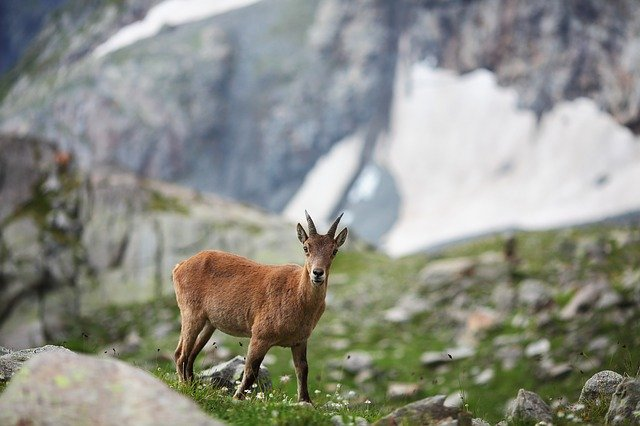 Mountain, Goat, Nature, Animal, Wildlife, Landscape