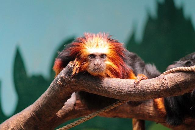 Monkey, Golden-headed Lion Tamarin, Animal, Zoo