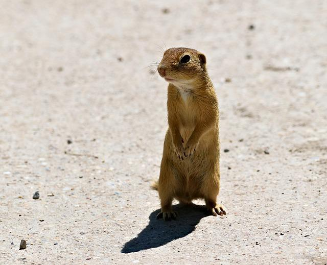 Gopher, Rodent, Standing, Curious, Animal, Mammal