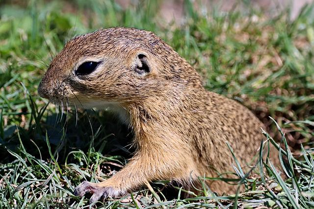 Gopher, Rodent, Cub, Nora, Mammal, Animal, Nature