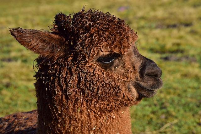 Mammal, Animal, Nature, Grass, Wool, Alpaca, Fluffy