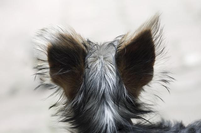 Dog, Head, Animal, Pet, Hair, Gray, Jorkširský Terrier