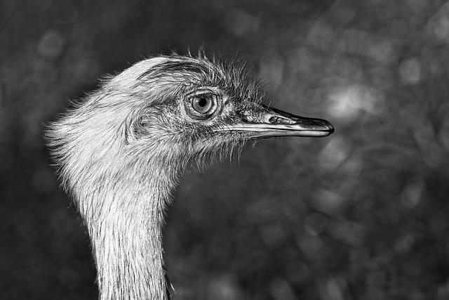 Greater Rhea, Bird, Animal, Flightless, Wildlife