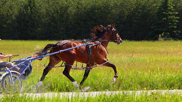 Animal, Horse, Standardbred, Brown, Bay, Harness
