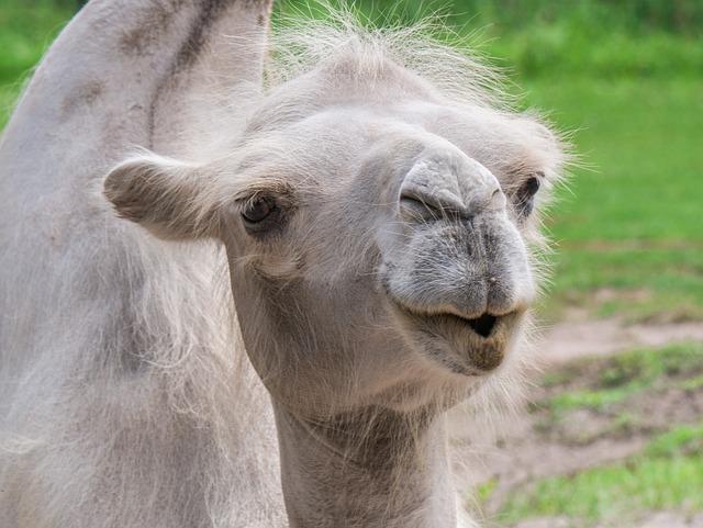 Camel, Head, Animal Portrait, Face, Animal