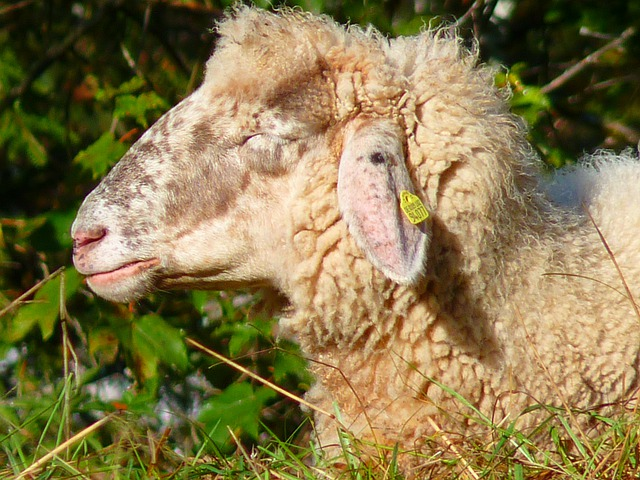 Sheep, Head, Fur, Soft, Wool, Animal