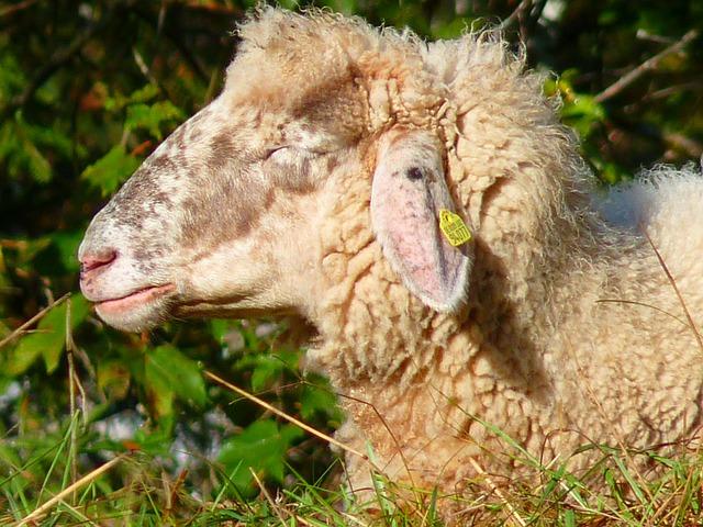 Sheep, Head, Fur, Soft, Wool, Animal