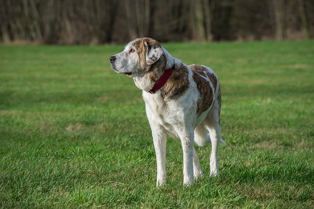 Dog, Grass, Mammal, Animal, Mastin, Herd Protection Dog