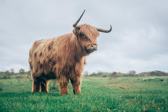 Highland Cattle, Horns, Pasture, Animal, Agriculture