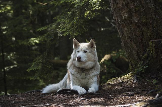 Forest, Dog, Canine, Wolf, Husky, Siberian, Animal