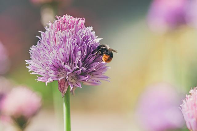 Bumblebee, Bee, Flower, Insect, Animal, Chive Flower