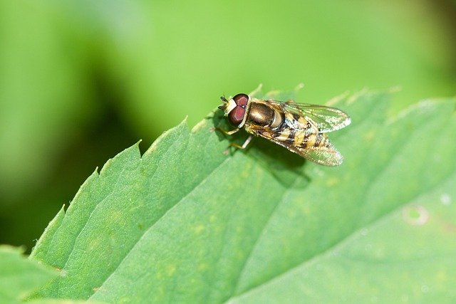 Fly, Hoverfly, Bug, Animal, Insect, Plant, Leaf