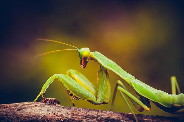 Mantis, Insect, Nature, Animal