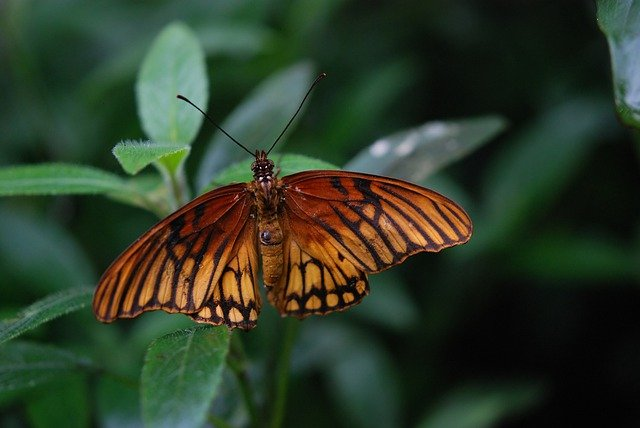 Nature, Insect, Butterfly, Mexican Silverspot, Animal