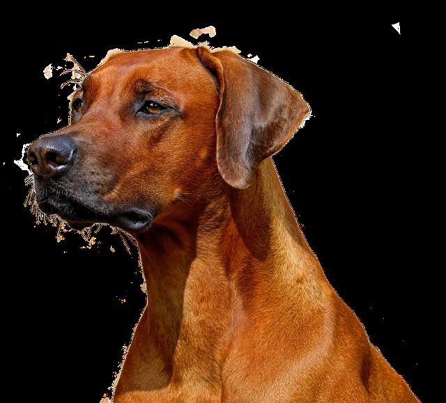 Dog, Isolated, Animal, Nature, Purebred Dog, Dear