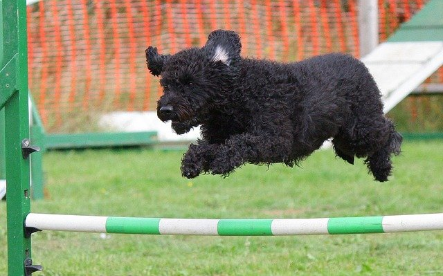 Dog, Agility, Training, Jumping, Breed, Animal, Course