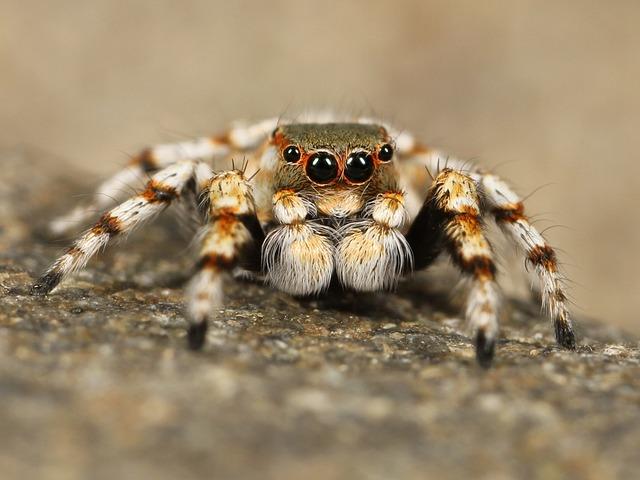 Spider, Arachnid, Animal, Jumping Spider, Salticidae