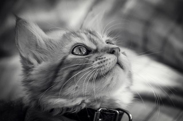 Cat, Animal, Cute, Portrait, Kitten