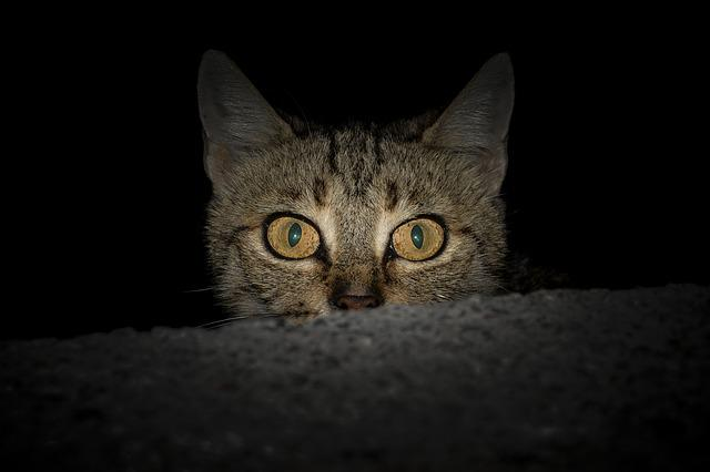 Cat, Animal, Tabby Cat, Overview, Black, Kitty