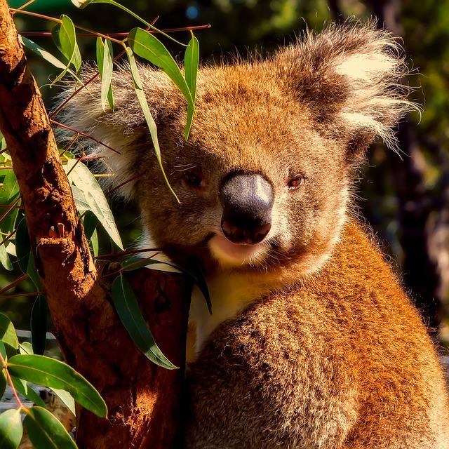 Koala, Animal, Wildlife, Macro, Closeup, Cute, Nature