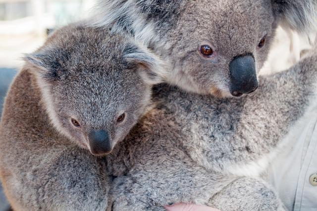 Koala, Animal, Jungle, Wildlife, Mammal, Nature, Zoo