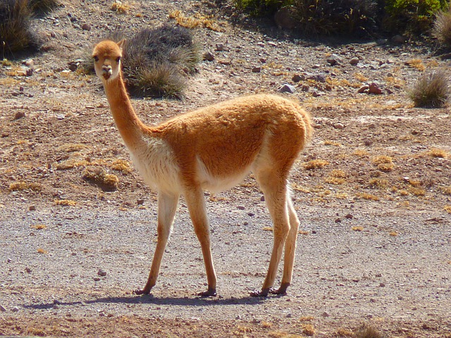 Vicuña, Lama, Paarhufer, Peru, Animal, Camel, Wool