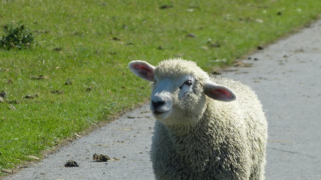 Lamb, Sheep, Schäfchen, Dike, Animal, Nature