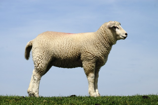 Sheep, Lamb, Sky, Lambs, Schäfchen, White, Wool, Animal