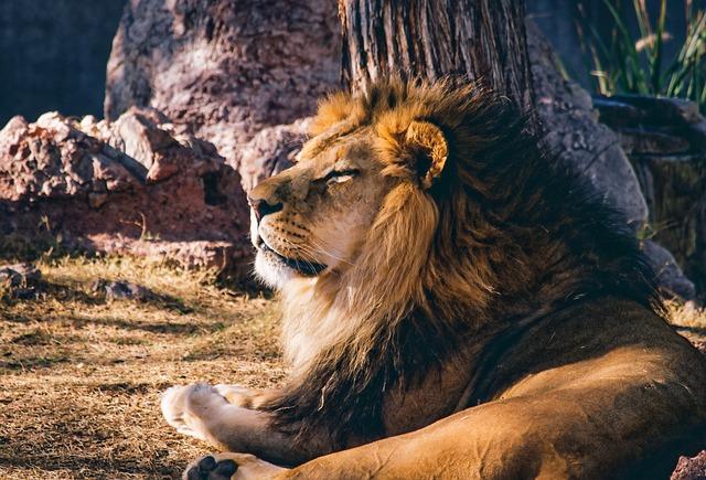 Lion, Animal, Wild, Mane, Lazy, Cat, Feline, Leo