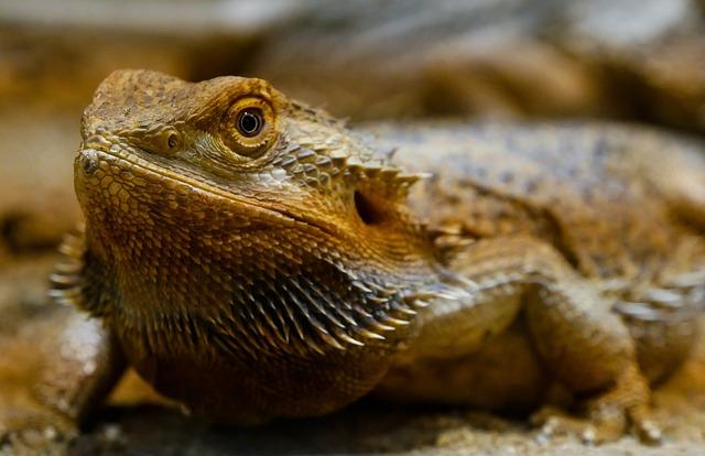 Animal, Lizard, Agame, Reptile, Amphibian, Dragon, Dry