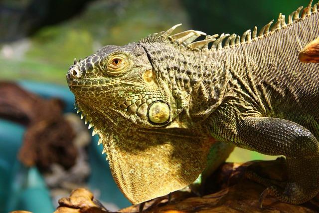Iguana, Iguana Iguana, Lizard, Reptile, Animal, Nature