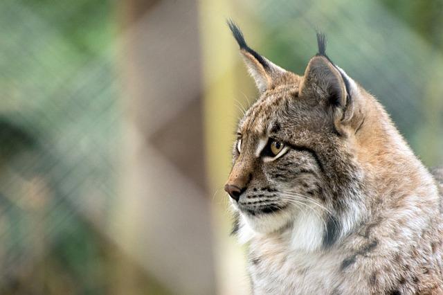 Nature, Animal World, Animal, Cat, Mammal, Lynx