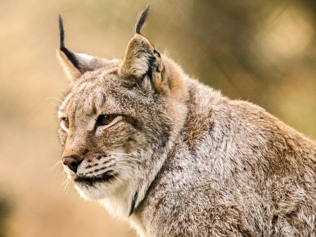 Lynx, Mammal, Animal, Nature