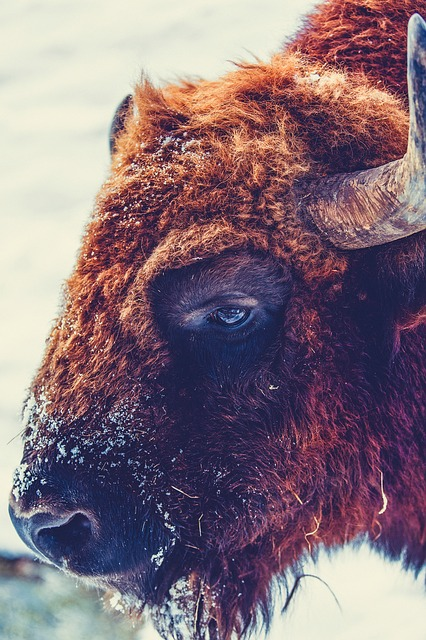 Buffalo, Animal, Wildlife, Closeup, Macro, Cold, Winter