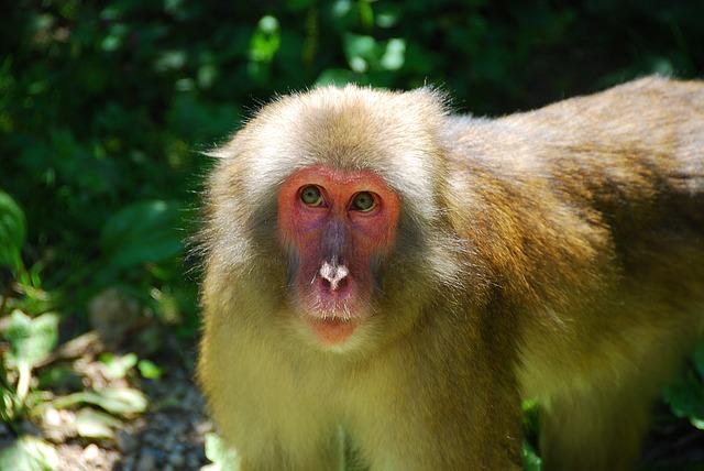 Makake, Monkey, Wildlife Photography, Primate, Animal
