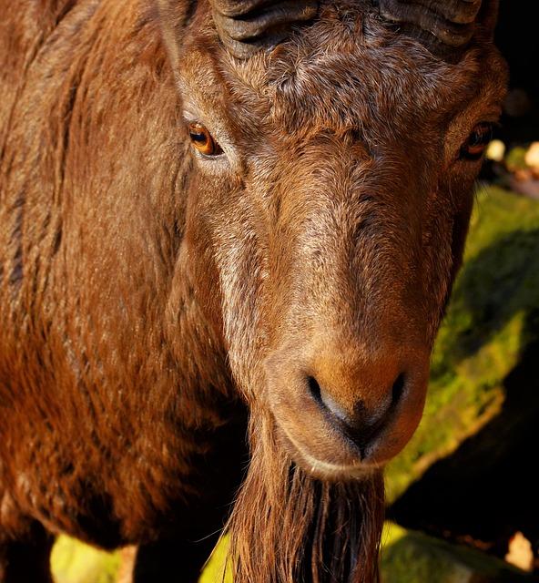 Capricorn, Male, Imposing, Eyes, Mammal, Animal