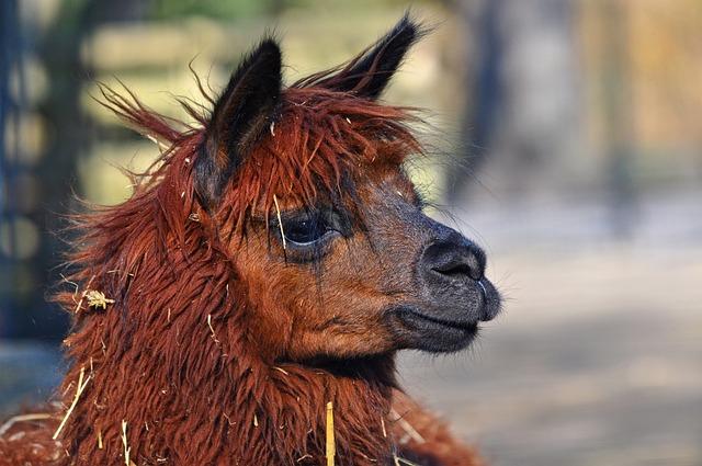 Alpaca, Animal, Mammal, Vicugna Pacos, Alphaca Head