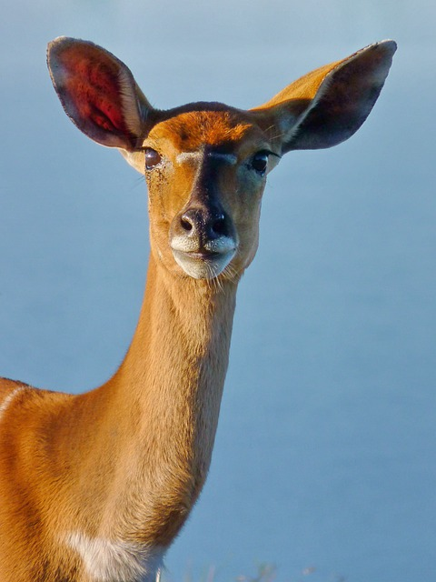 Animal, Mammal, Wildlife, Nyala, Antelope, Animal World