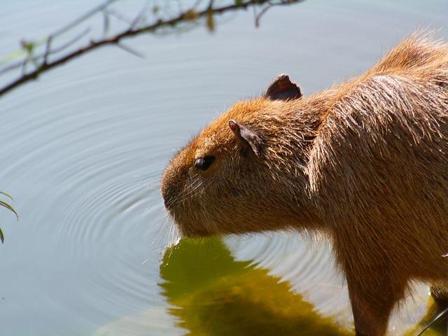 Capybara, Mammal, Animal, Zoo, Drink